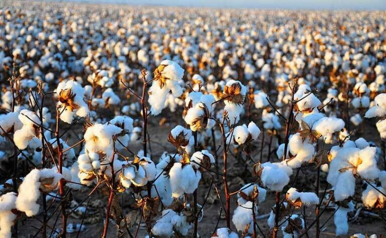 Consortium Around Fashion for Good Starts Pilot Project for More Efficient Cotton Construction
