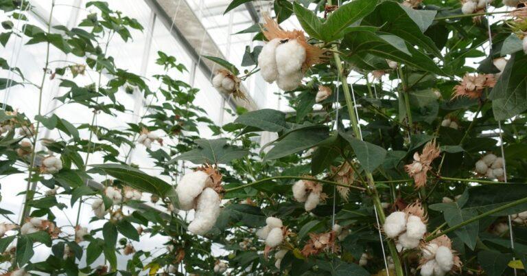 Fashion for Good Consortium Pilots Resource Efficient Cotton Farming